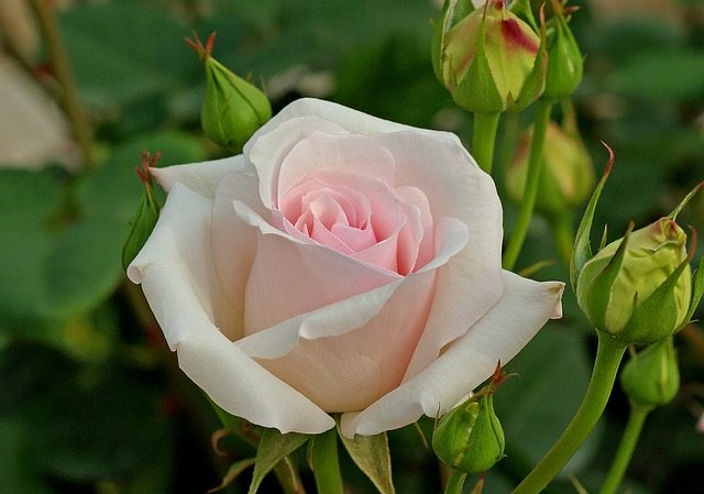 white-tea-rose-616597_640
