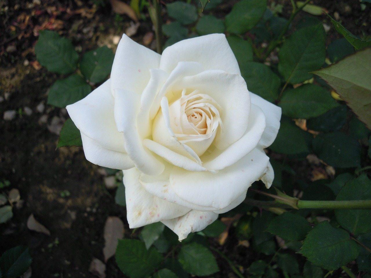 white-695778_1280